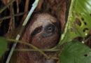 Braunkehl-Faultier (Bradypus variegatus