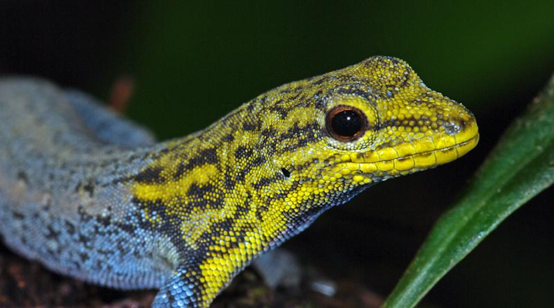 Gelbkopf, Männchen, Lygodactylus picturatus, Kenia