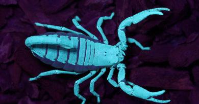 Der asiatische Riesen-Skorpion (Heterometrus swammerdammi) unter UV-Licht (Foto: Jürg Sommerhalder)