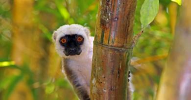 Weisskopfmaki, Eulemur albifrons, Männchen, Nosi Mangabe, Madagaskar