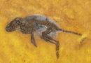 Macrocranion tupaiodon, Ghedoghedo/wikipedia