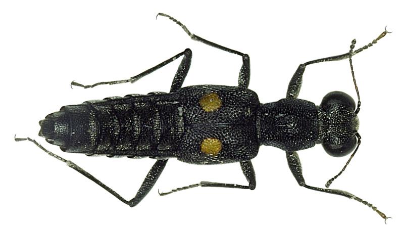 Komma-Schmalräuber, Kürzflügler, Staphylinidae, Stenus comma