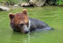 Braunbär (Ursus arctos) im Tierpark Langenberg