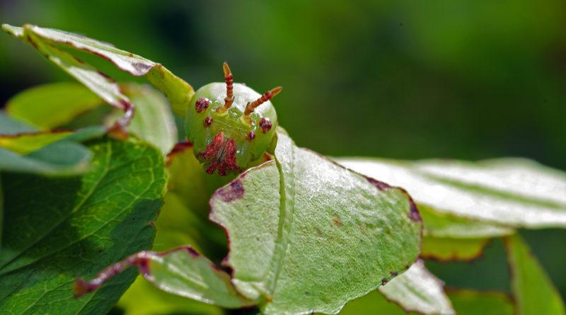 Grosses Wandelndes Blatt (Phyllium giganteum)