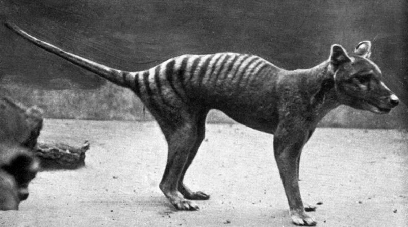 Der Beutelwolf (Thylacinus cynocephalus)