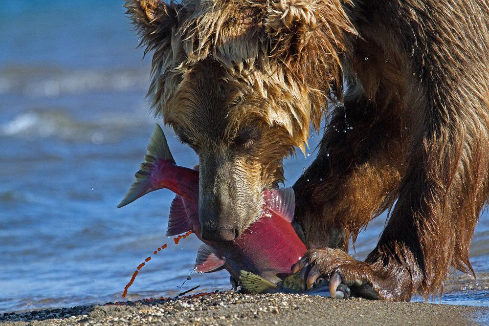 Braunbär, Ursus arctos, Kachatka, Lachs Foto: Reno Sommerhalder