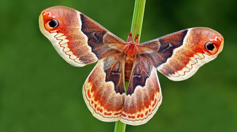 Prometheus-Spinner, Callosamia prometha, Weibchen, USA